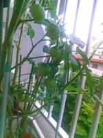 トマト0612.jpg